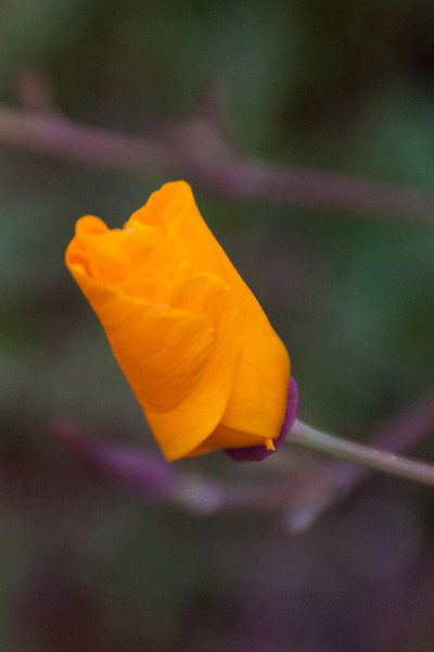 California poppy (Eschscholzia californica), a native, was the most obvious plentiful flower--the large, brilliantly colored petals made it stand out.