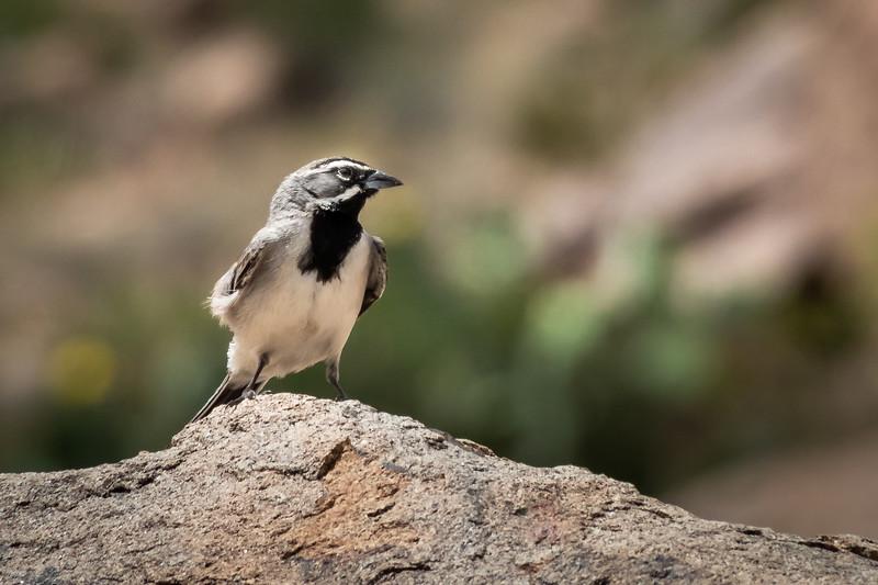Black throated sparrow Big Bend Nat Park -0646.jpg