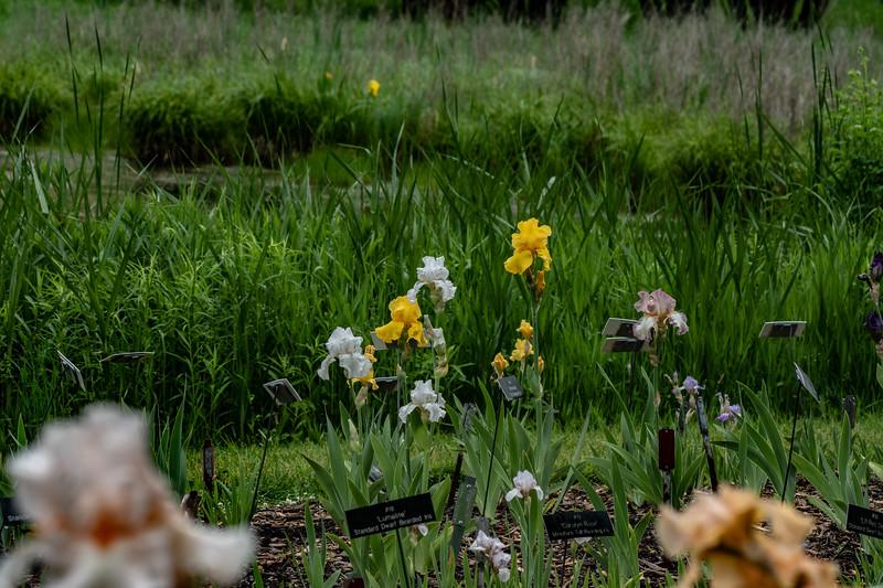 Arboretum Flower Iris-06463.JPG