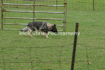 Sunday GSD Intermediate Sheep