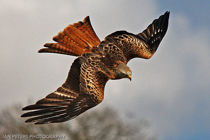 Red Kite Diving 6 x 4 300 dpi eye 5735.jpg