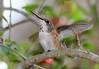 Rufous Hummingbird PSE IMG_4114