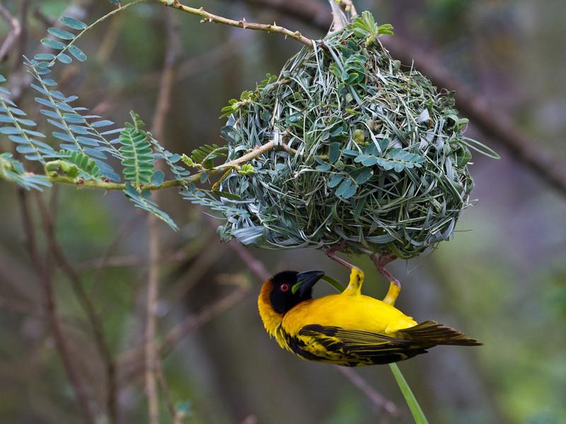 Weaver bird / Webervogel (Lake Mburu NP)