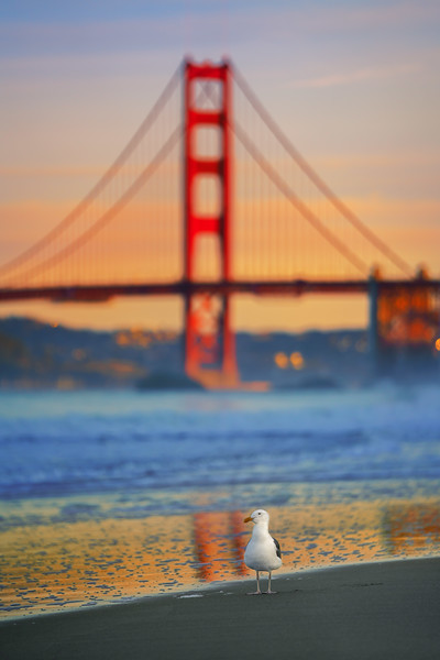 Seagull and golden gate bridge