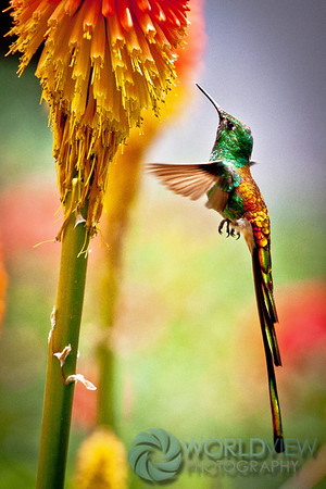 Andean hummingbird fest (Tafi del Valle, Argentina)