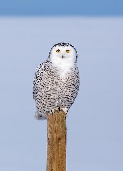 Snowy Owl 4.jpg