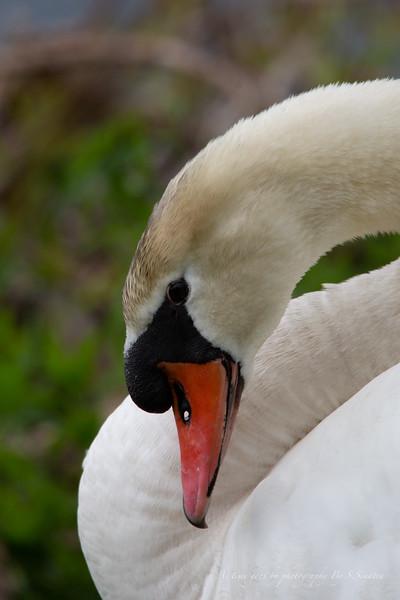 mute swan signed-49.JPG