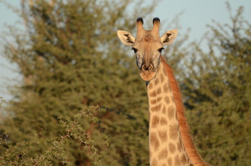51 - Giraffe checking us out - Chitabe - Anne Davis