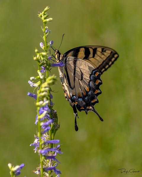 """Eastern Tiger Swallowtail"""