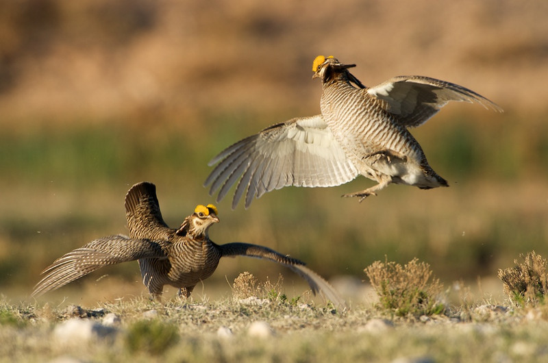 Lesser Prairie Chickens Fighting #3
