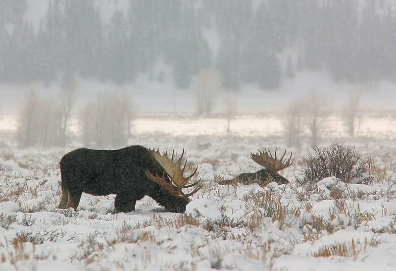 GTNP Bull Moose December.jpg