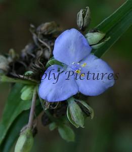 blue park flower