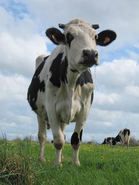 vaches-et-progeniture-prim-holstein-mars-2014-France-54.jpg
