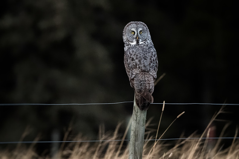 #1165 Great Gray Owl