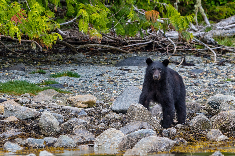 Black bear foraging along a beach in Broughton Archipelago Provincial Marine Park, British Columbia, Canada.