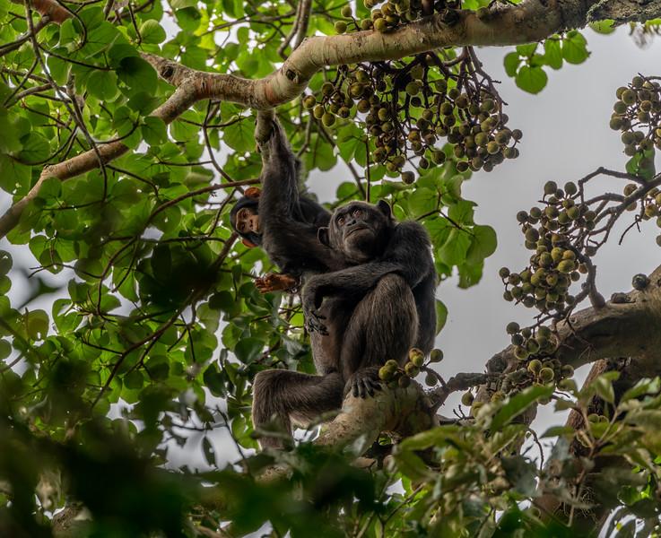 Uganda_T_Chimps-1265.jpg