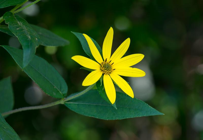 Smokies Yellow Flower