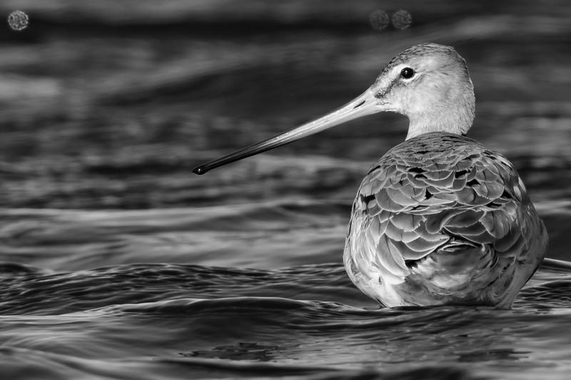 Fugle-KobbersneppeStor-LimosaLimosa-2017-04-10-_67A3862x-Danapix.jpg