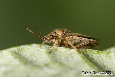 Double-eyed Mirid Bug