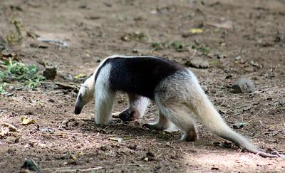 Anteater, Northern Tamandua