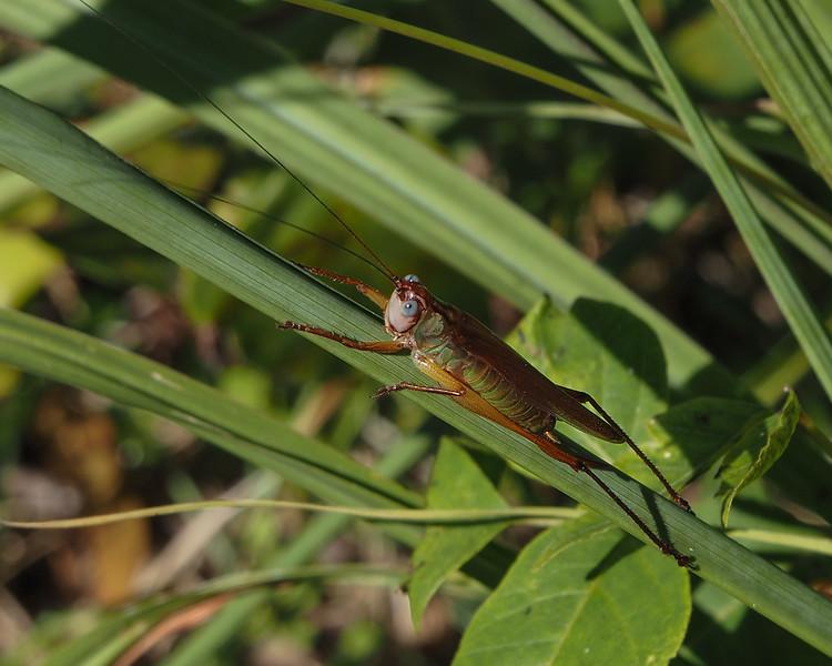 Handsome Meadow Katydid, male
