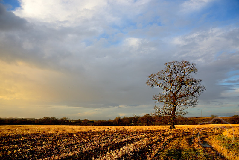 Tree_in_Stubble_Field.jpg
