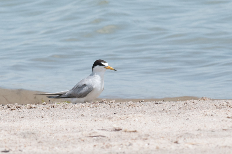 An adult tern, rests by the water on the university beach.