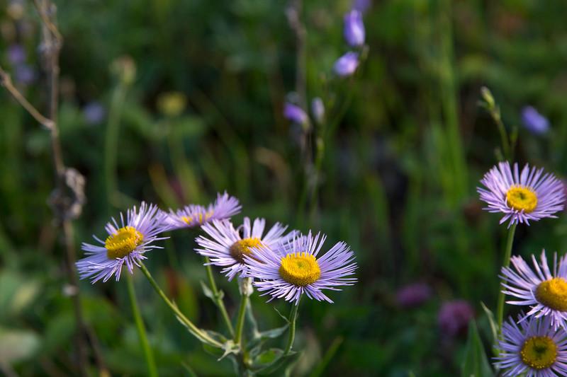 Smooth Fleabane - Erigeron glabellus.jpg