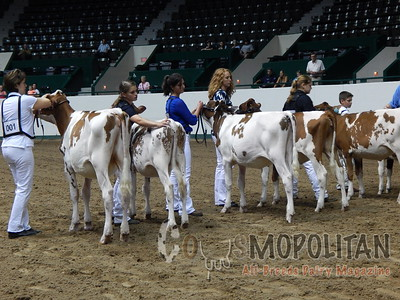 MN State Fair R&W Heifers 2015