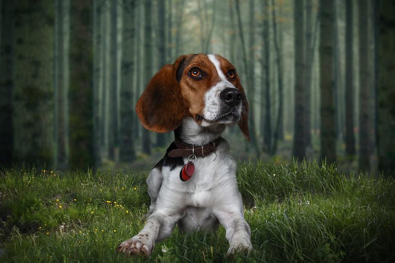 beagle-lr1.jpg