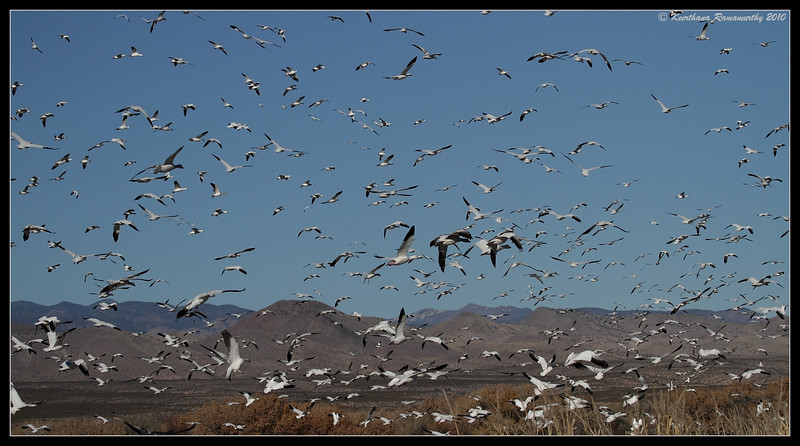 Snow Geese landing, Bosque Del Apache, Socorro, New Mexico, November 2010