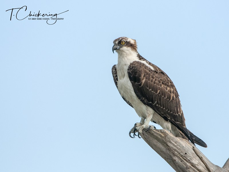 Osprey Male Perched in Snag.jpg