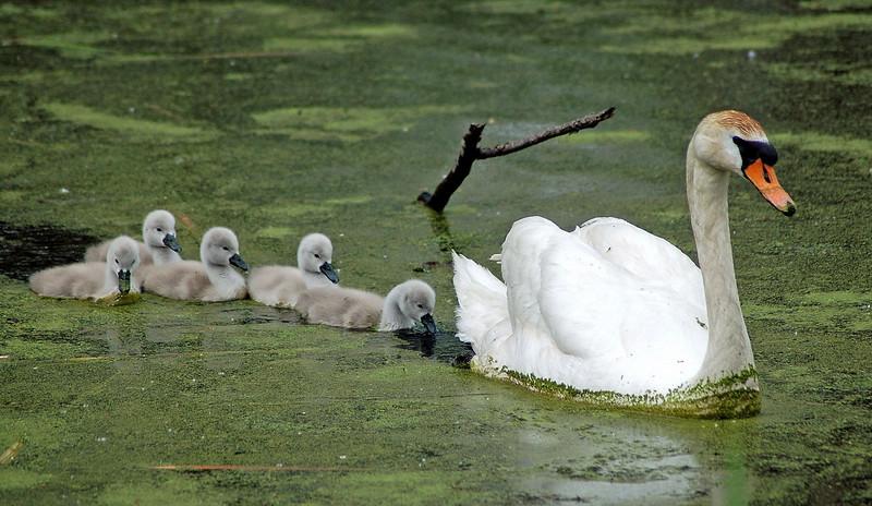 Swan family swimming_edited-1.jpg