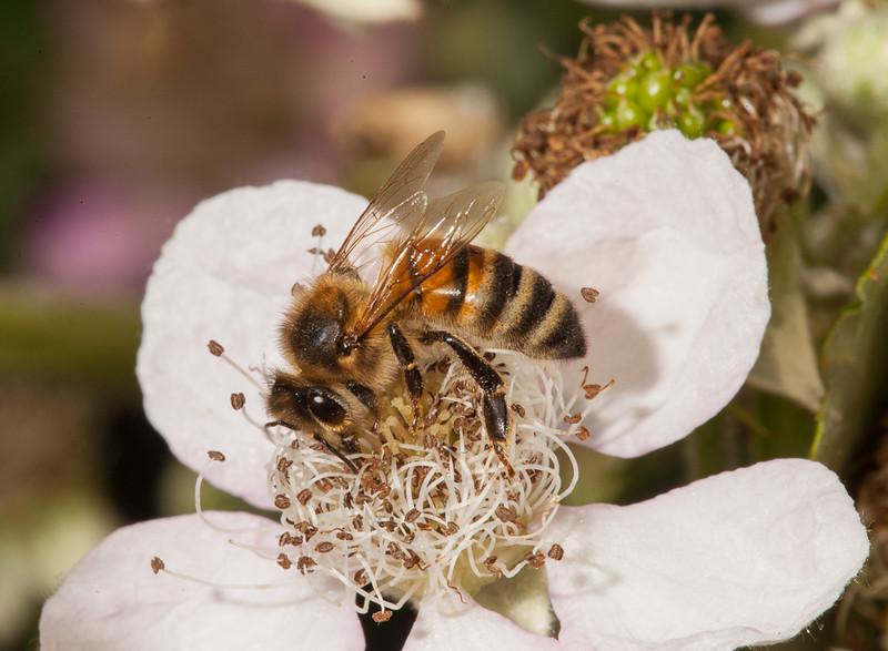 Solitary bee on blackberry flower.