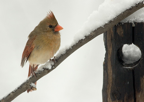northern-cardinal-3_5086359577_o.jpg