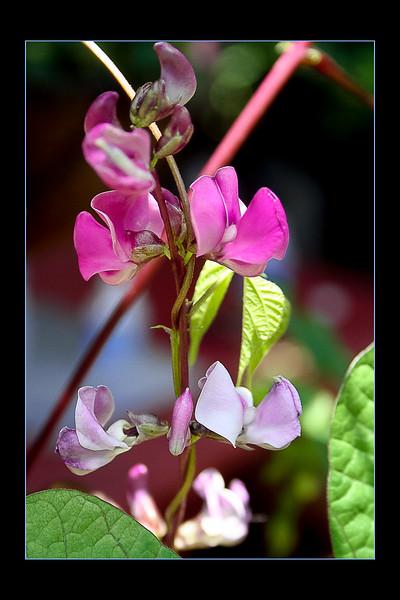 PURPLE EMPEROR BEAN FLOWERS
