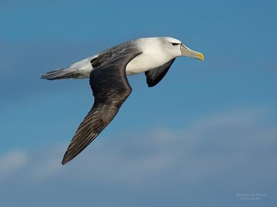 Shy Albatross (Thalassarche cauta) VU