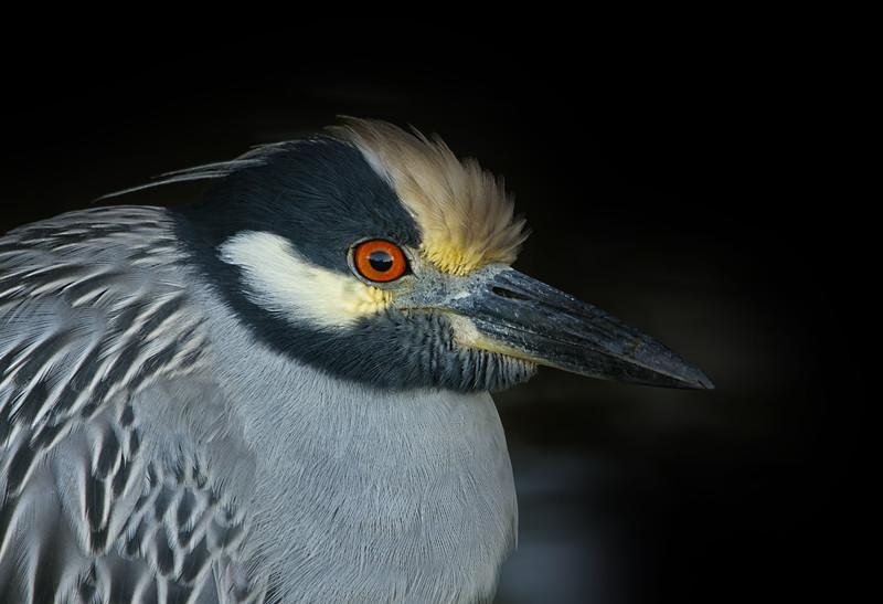 Yellow - Crowned Night Heron