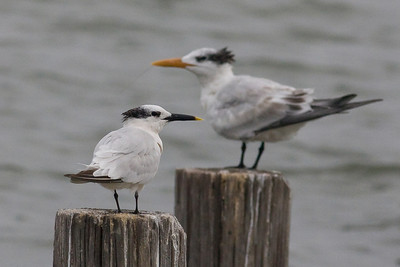 Gulls, Terns and Skimmers