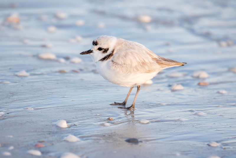 Snowy Plover, Sanibel Beach