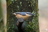 Nuthatch Ready to Launch