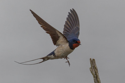 Barn Swallow - Landsvale