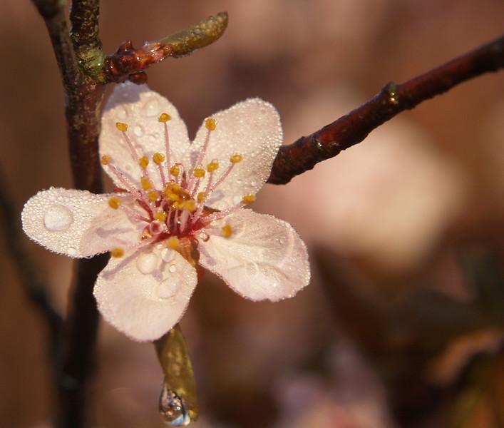 nalladj spring blossom