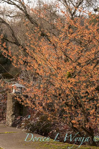 Hamamelis x intermedia 'Jelena' _3855.jpg