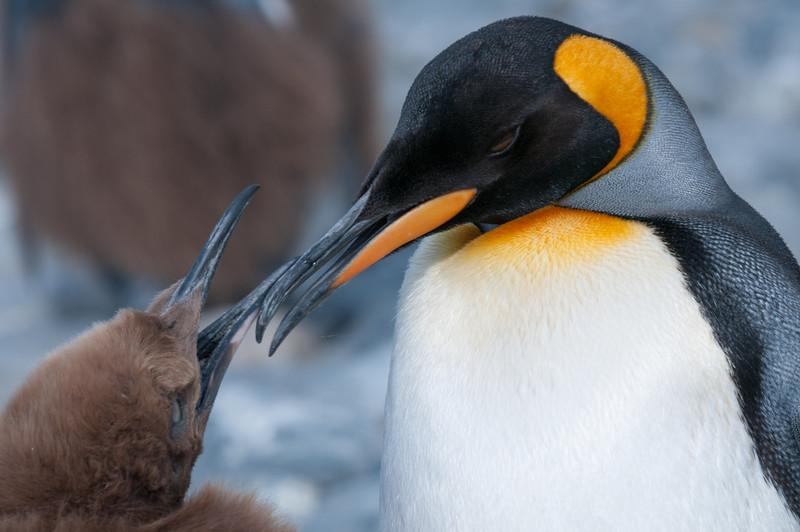 King penguins in Moltke Harbor