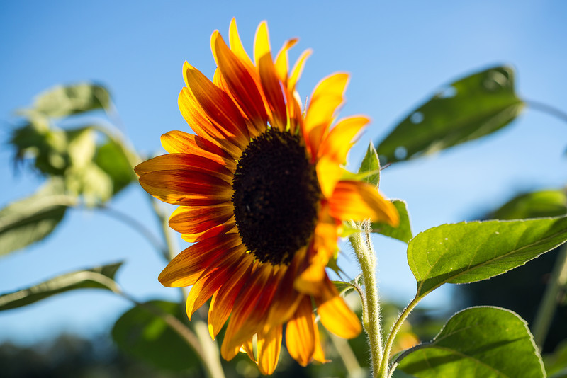 sunflower in bloom.jpg