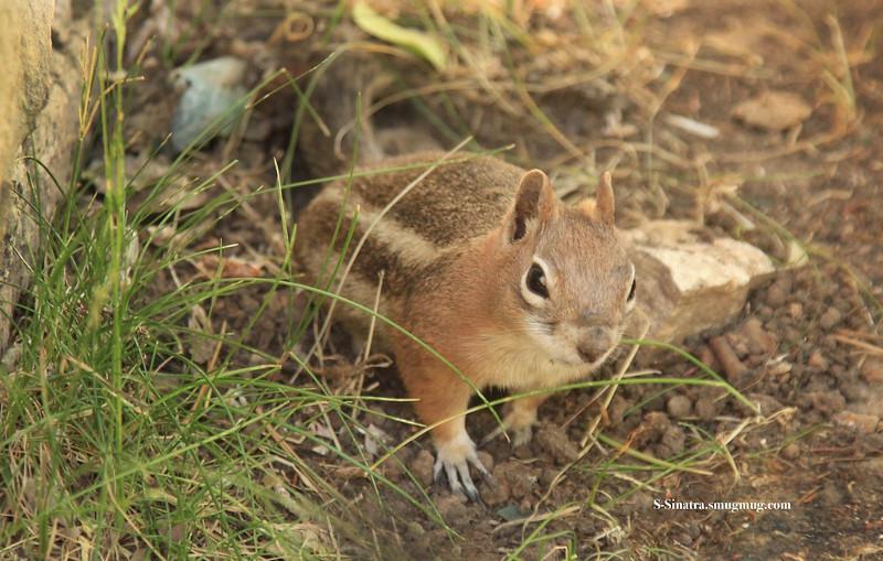 Chipmunk squirre.00106.jpg