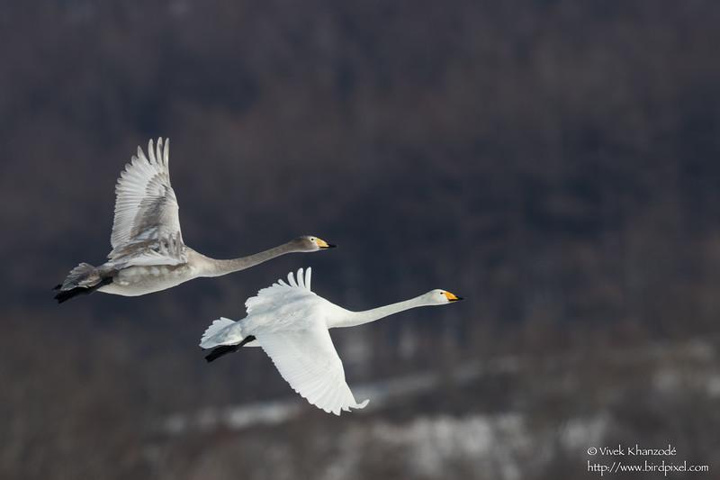 Whooper Swan - Hokkaido, Japan