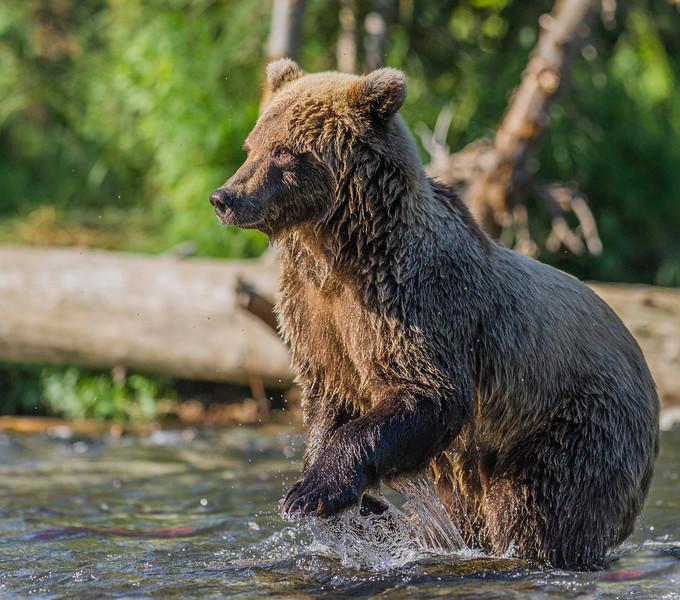 Salmon-Chasing Brown Bear Russian River Campground Cooper Landing, Alaska © 2013