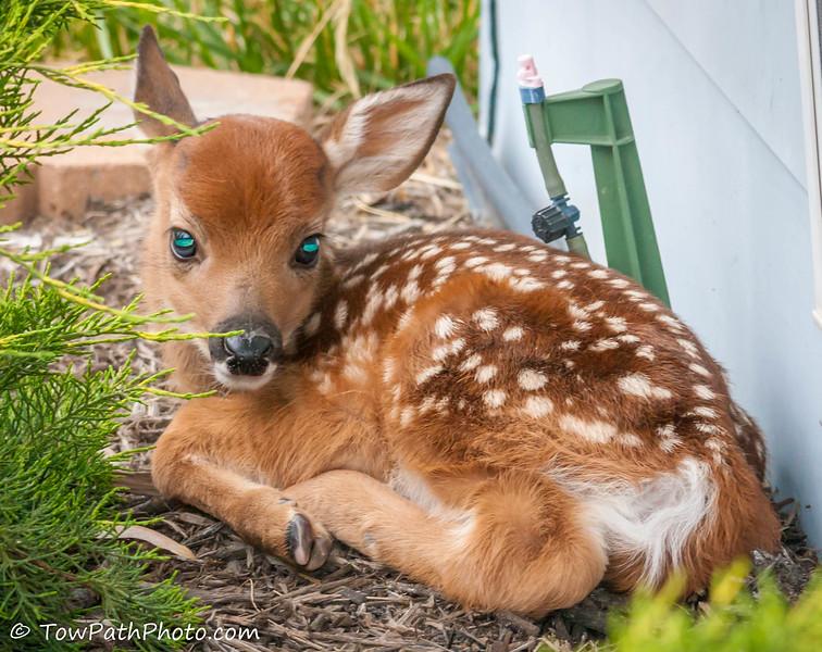 "White-tailed Deer ...""Fauna"""